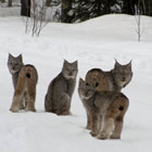 Daryl Dauncey has seen a lot of wildlife out on the trails, including this family of lynx.