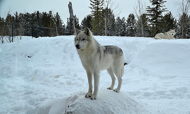 wolf at the Grizzly and Wolf Discovery Center in Yellowstone Montana