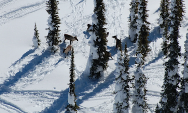 Caribou graze around snowy trees.