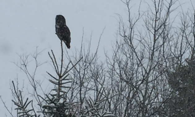 A great grey owl keeps an eye on Leo Zelinski and his group.