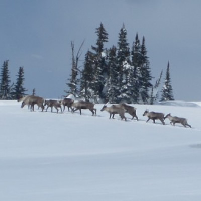 Group of caribou on snowy hillside.