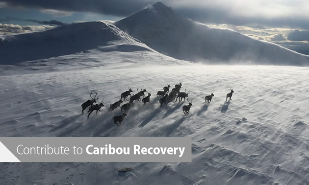 Aerial view of a herd of caribou running across a snowy, wind-swept plain.