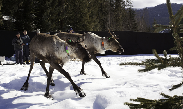 Pair of tagged Southern mountain caribou being released onto snowy field.