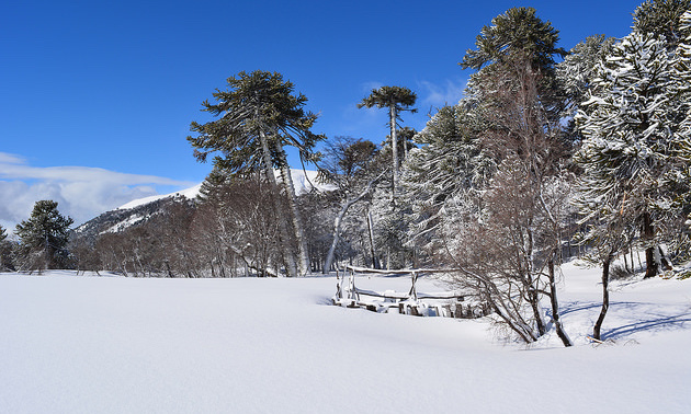 A snow scene with the Chilean pine tree.