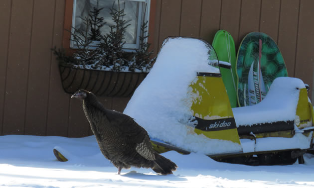 Large turkey sitting in front of Ski-Doo.
